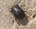 Erodius sp. Tenebrionidae (33067058816).jpg