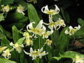 Erythronium 'White Beauty' 04.JPG