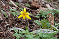 Erythronium americanum full Radnor Lake.jpg