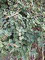 Ethiopie-Danakil-Végétation (9).jpg