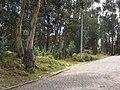 Eucaliptos en Cuitiva - panoramio.jpg