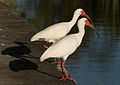 Eudocimus albus duo 2.jpg