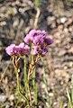 Eupatorium tanacetifolium- Pajas Blancas, Montevideo, Suelo rocoso en canteras abandonadas al margen del Camino Pajas Blancas 4.jpg