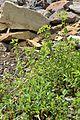 Euphorbia dulcis in Jardin Botanique de l'Aubrac.jpg