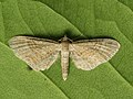 Eupithecia simpliciata - Plain pug - Цветочная пяденица лебедовая (40056269565).jpg