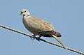 Eurasian Collared Dove Streptopelia decaocto by Dr. Raju Kasambe DSCN2357 (1).jpg