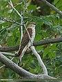Eurasian Sparrowhawk (Accipiter nisus) (16895416989).jpg