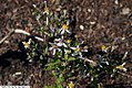 Eurybia divaricata 1zz.jpg