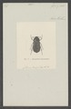 Eurychelus - Print - Iconographia Zoologica - Special Collections University of Amsterdam - UBAINV0274 020 04 0018.tif