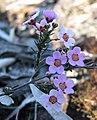 Euryomyrtus ramosissima.jpg