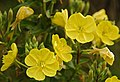 Evening Primrose at Birkdale - geograph.org.uk - 912667.jpg