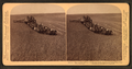 Evolution of sickle and flail, 33 horse team harvester, cutting, threshing and sacking wheat, Walla Walla, Washington, from Robert N. Dennis collection of stereoscopic views.png