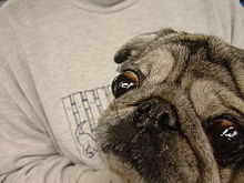 exophthalmos in a pug