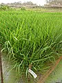 Experimental rice field at the Africa Rice Center - panoramio (2).jpg