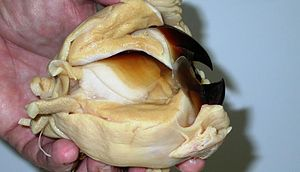 Cephalopod beak - Giant squid beak and associated muscles with hand for scale