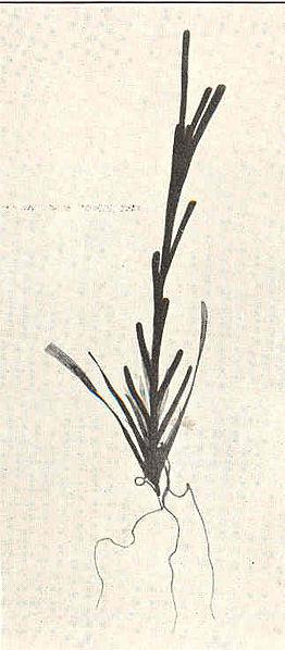 File:FMIB 40067 Potamogeton zostifolius, sprouting winter bud Aquarium specimen February.jpeg
