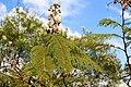 Fabales - Leucaena leucocephala - 1.jpg
