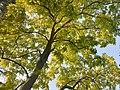 Fabales - Robinia pseudoacacia - 8.jpg