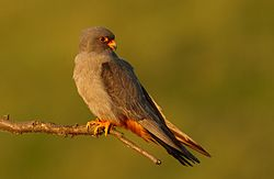 Falco vespertinus 2 (Martin Mecnarowski).jpg