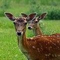 Fallow deer - Flickr - Stiller Beobachter (2).jpg