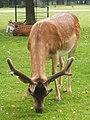 Fallow deer at Dunham Massey - geograph.org.uk - 1378654.jpg