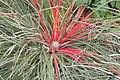 Fascicularia bicolor (SG) (25080775981).jpg