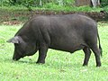 Feast-sized Black Pig - sensibly extremely human cautious - panoramio.jpg