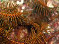 Feather Star (Comaster Multifidus) (Close up) (20 cm) (234943648).jpg