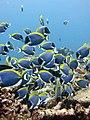 Feeding shoal blue tang.jpg
