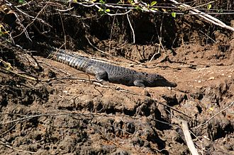 Daintree River - Female crocodile in the Daintree River