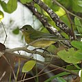 Female Painted Bunting (5270948788).jpg