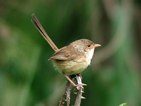 Female Red-backed Fairywren samsonvale.JPG