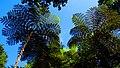 Fern sky, Jardim Tropical (Monte, Funchal) (38044788986).jpg