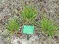 Festuca arundinacea - Copenhagen Botanical Garden - DSC07686.JPG