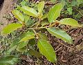 Ficus drupacea.jpg