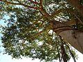Ficus thonningii, stam en blaarkruin, Waterberg.jpg