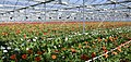 Field of gerbera's (8634098625).jpg