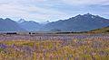Field of viper's bugloss.jpg
