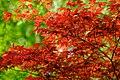 Fiery Red (182145125).jpeg
