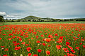 Fife Poppies (19443808341).jpg