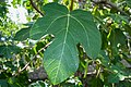 Fig Leaf (49732908).jpeg