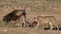 Five cheetahs were feeding on a Springbok kill one morning in th (34407780271).jpg