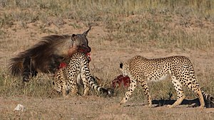 Brown hyena - Brown hyena stealing springbok kill from cheetahs