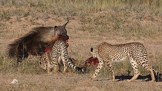 Brown hyena - Brown hyena stealing springbok kill from cheetahs