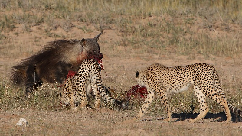 File:Five cheetahs were feeding on a Springbok kill one morning in th (34407780271).jpg