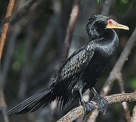 Flickr - Rainbirder - Long-tailed Cormorant (Phalacrocorax africanus).jpg