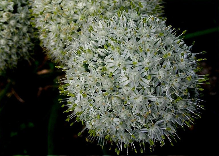 Flor de cebola 3