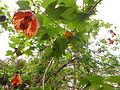 Flores Bocabajo.JPG