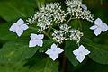 "Flower, Hydrangea ""Benigaku"" - Flickr - nekonomania (1).jpg"