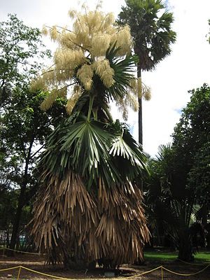 Corypha umbraculifera - Image: Flowering Talipot Palm 06